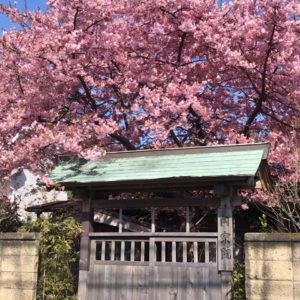 お寺の桜が満開です。